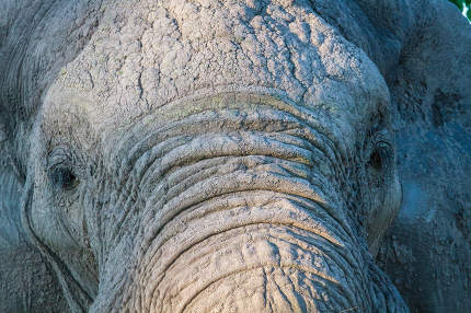 Close up of an Elephant in Chobe.