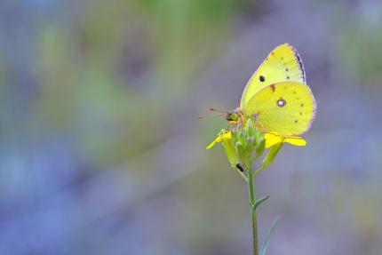 Cloudless Sulphur butterfly (Phoebis sennae) on flower