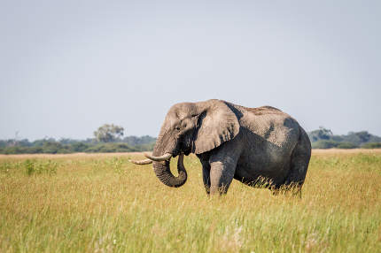 Elephant standing in high grass in Chobe.