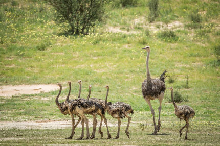 Family of Ostriches in the grass.