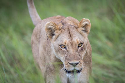 Female Lion walking towards the camera.