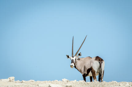 Gemsbok standing on a ridge and looking back.