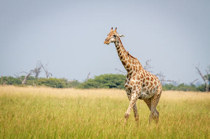 Giraffe walking in the grass in Chobe.