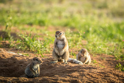 Group of Ground squirrels in the sand.