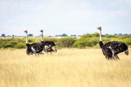 Group of Ostriches in the high grass.