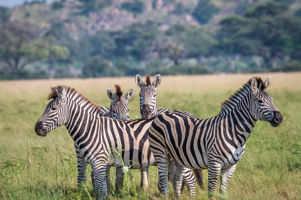 Group of starring Zebras in the grass.