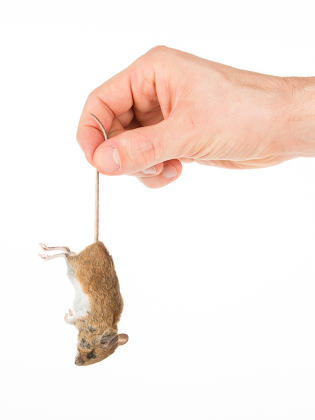 Hand holding a dead mouse, isolated