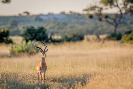 Impala ram starring at the camera.