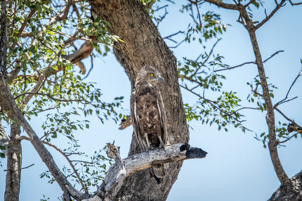 Juvenile Brown snake eagle sitting on a branch.