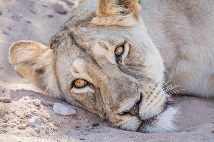 Lion laying down and starring.