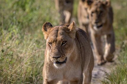 Lions walking towards the camera.
