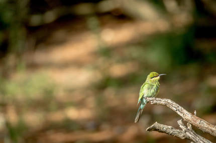 Little bee-eater on a branch in Kalagadi.