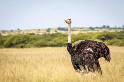 Ostrich in the high grass.
