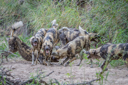 Pack of African wild dogs playing in the sand.