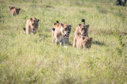 Pride of Lions walking in the grass.
