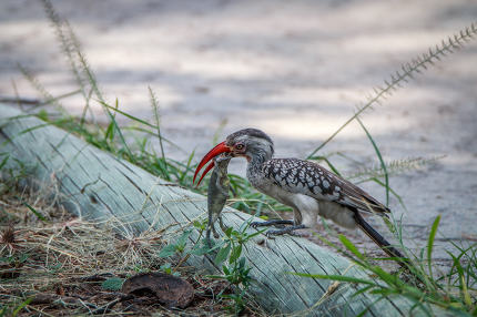 Red-billed hornbill with a kill.