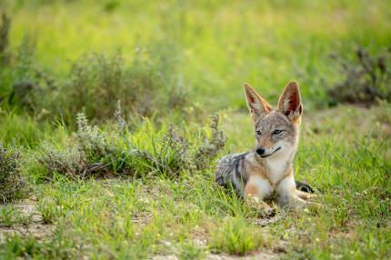 Side profile of a Black-backed jackal.