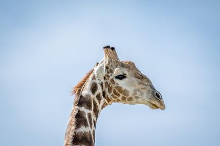 Side profile of a Giraffe in Kalagadi.