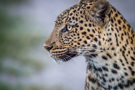 Side profile of a Leopard in Chobe.