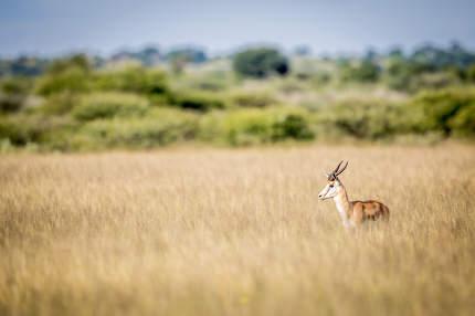 Side profile of a Springbok.