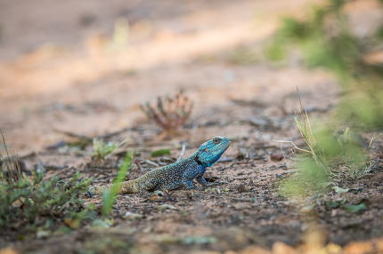 Southern tree agama on the ground.