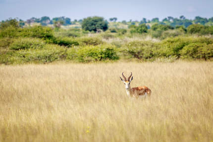 Springbok starring at the camera.