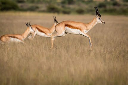 Springboks pronking in the Central Kalahari.
