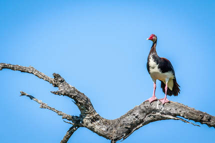 Spur-winged goose on a branch.