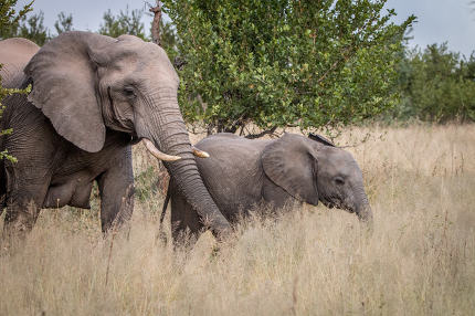 Two Elephants walking in the grass.