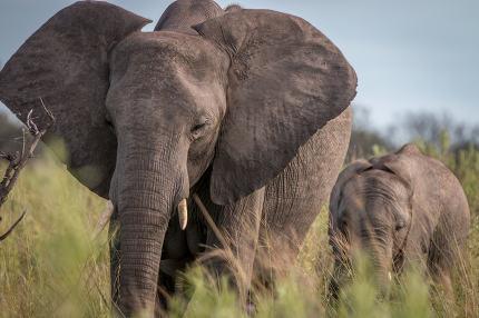 Two Elephants walking in the grass in the Okavango Delta, Botswa