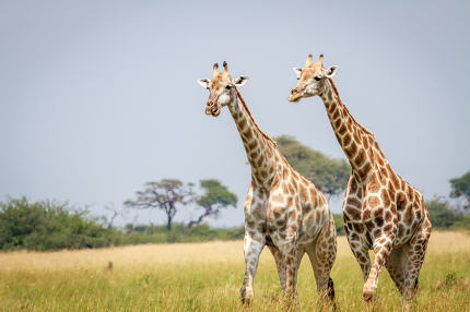 Two Giraffes standing in the grass.