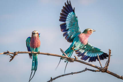 Two Lilac-breasted rollers in Chobe.