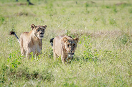 Two Lions walking in high grass.