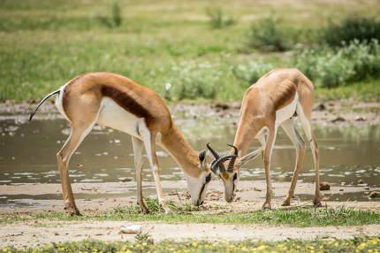 Two Springboks fighting in the Kalagadi.