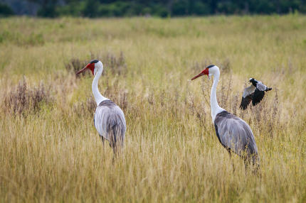 Two Wattled cranes walking in the grass.
