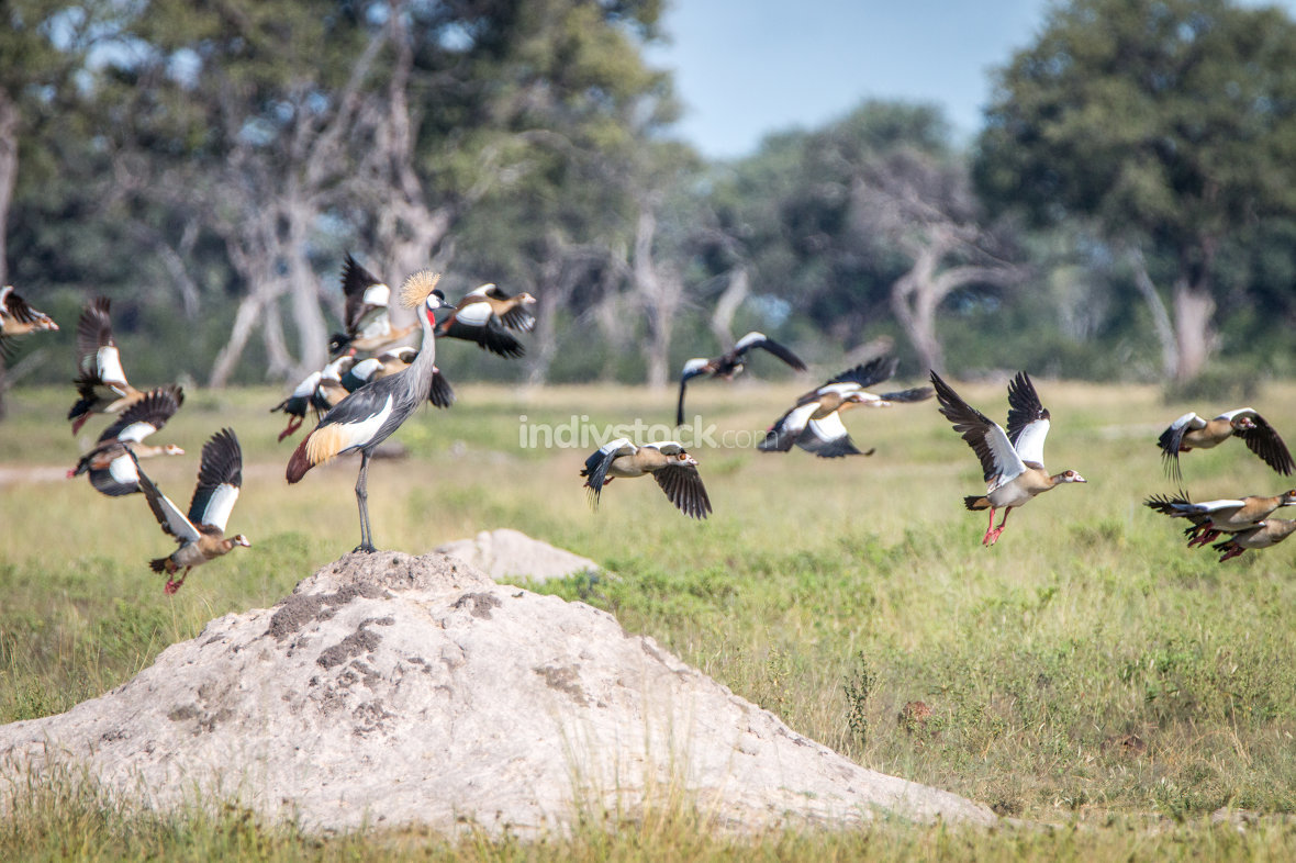 A Grey crowned crane on top of a termite mound.
