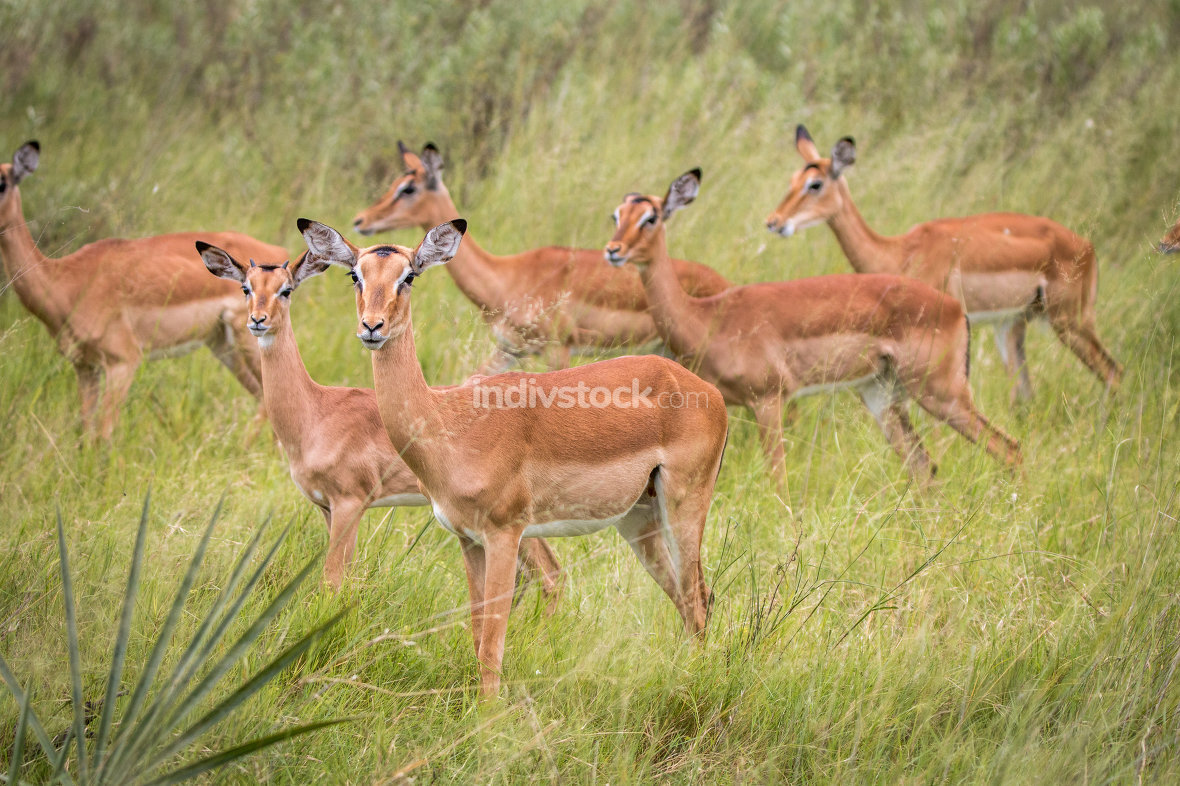A herd of Impalas walking in the grass.
