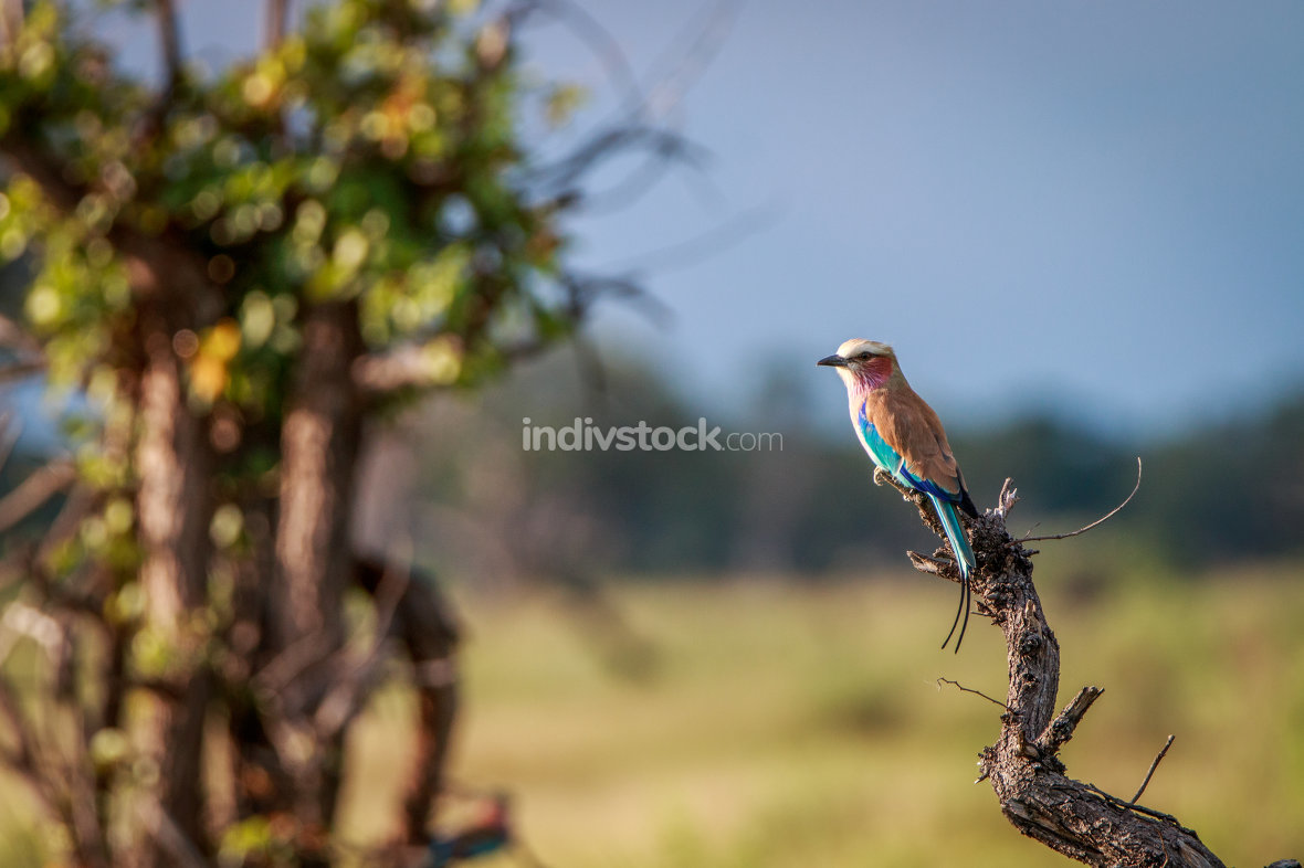A Lilac-breasted roller on a branch.