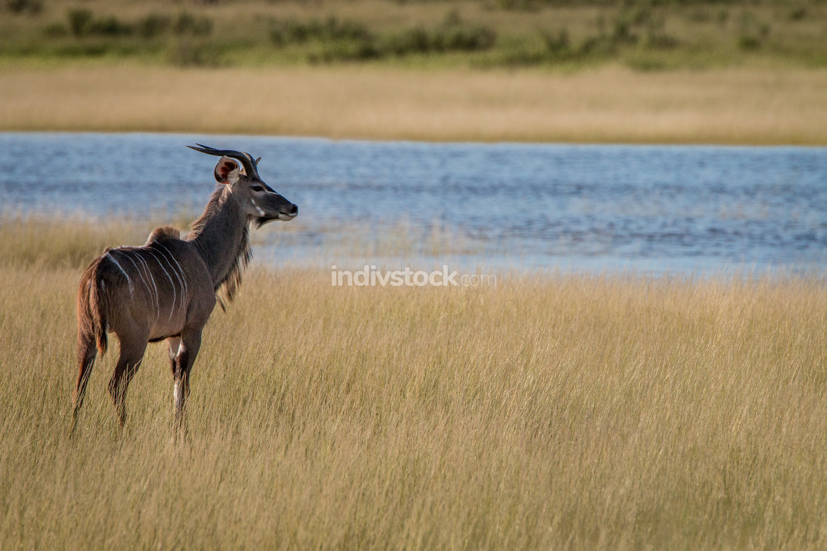 A young male Kudu looking around.