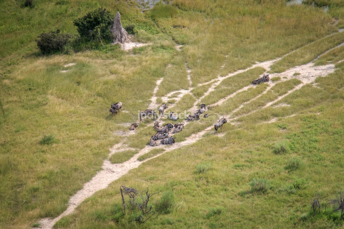 Aerial view of a herd of Blue wildebeest.