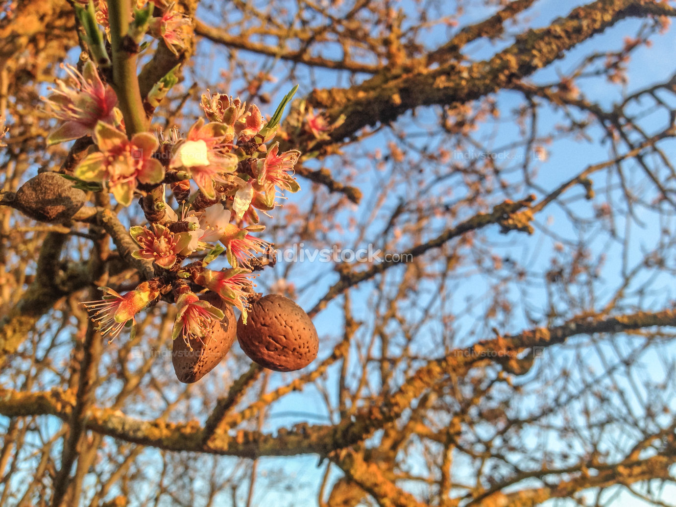 Almonds and flowers in the same tree branch