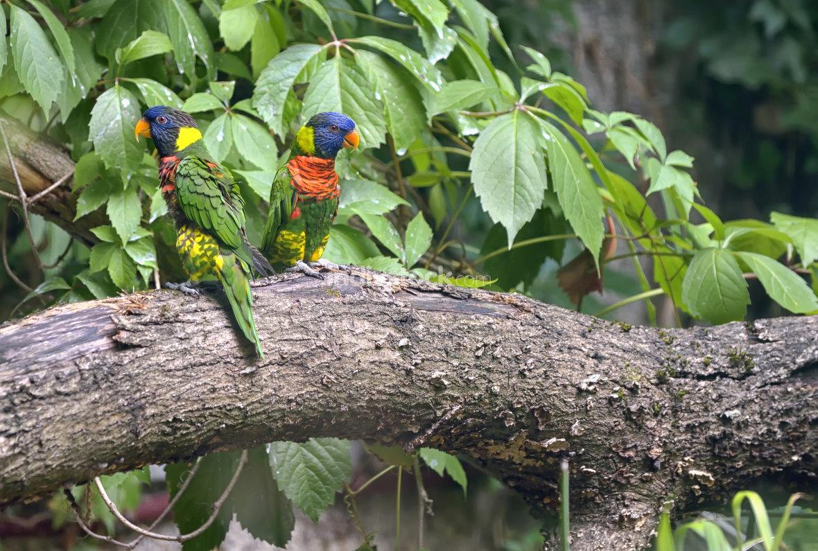 Amazon Parrot (Amazona aestiva)