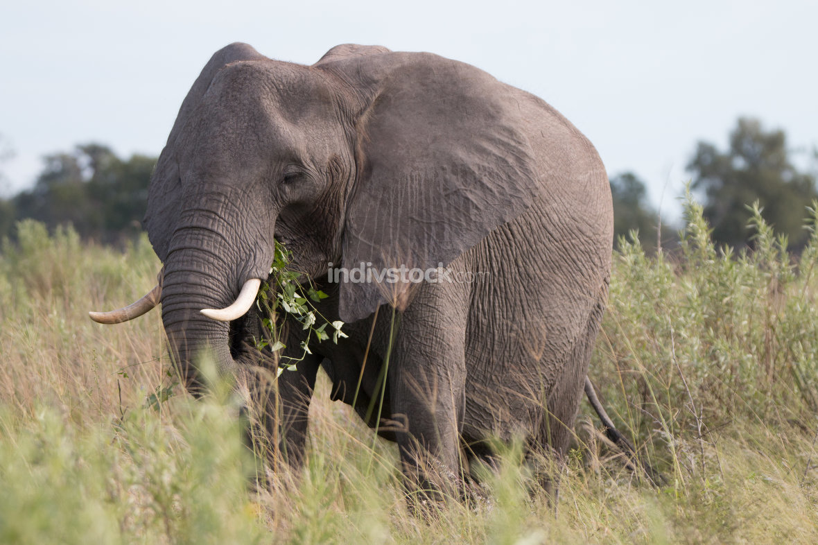 An Elephant eating and walking in the grass.