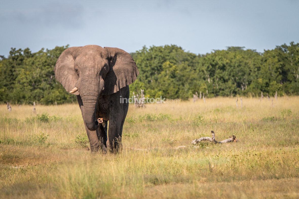 An Elephant walking towards the camera.