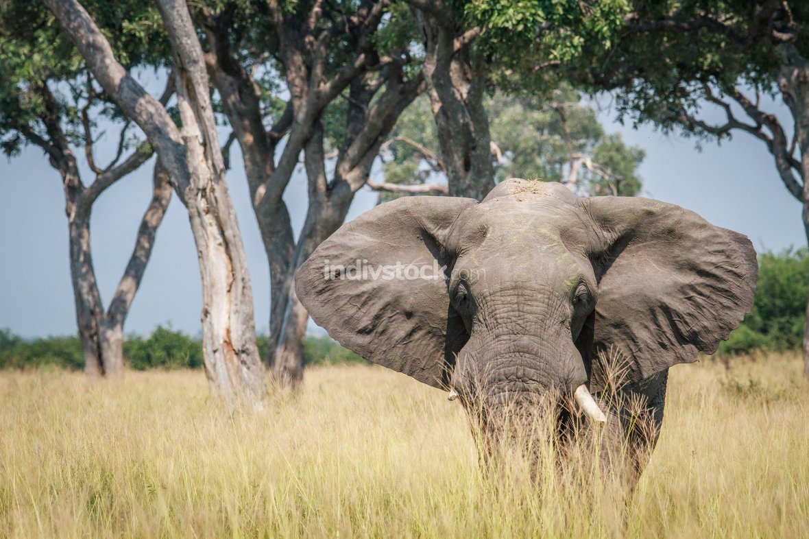 Big Elephant standing in high grass.