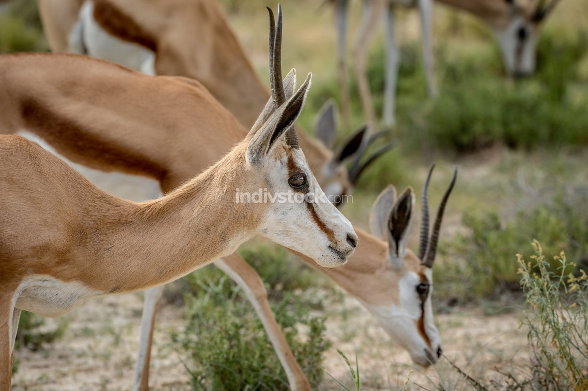 Close up of a Springbok in the Kalagadi.