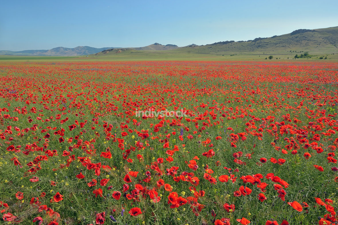 colorful poppy flowers on field in summer
