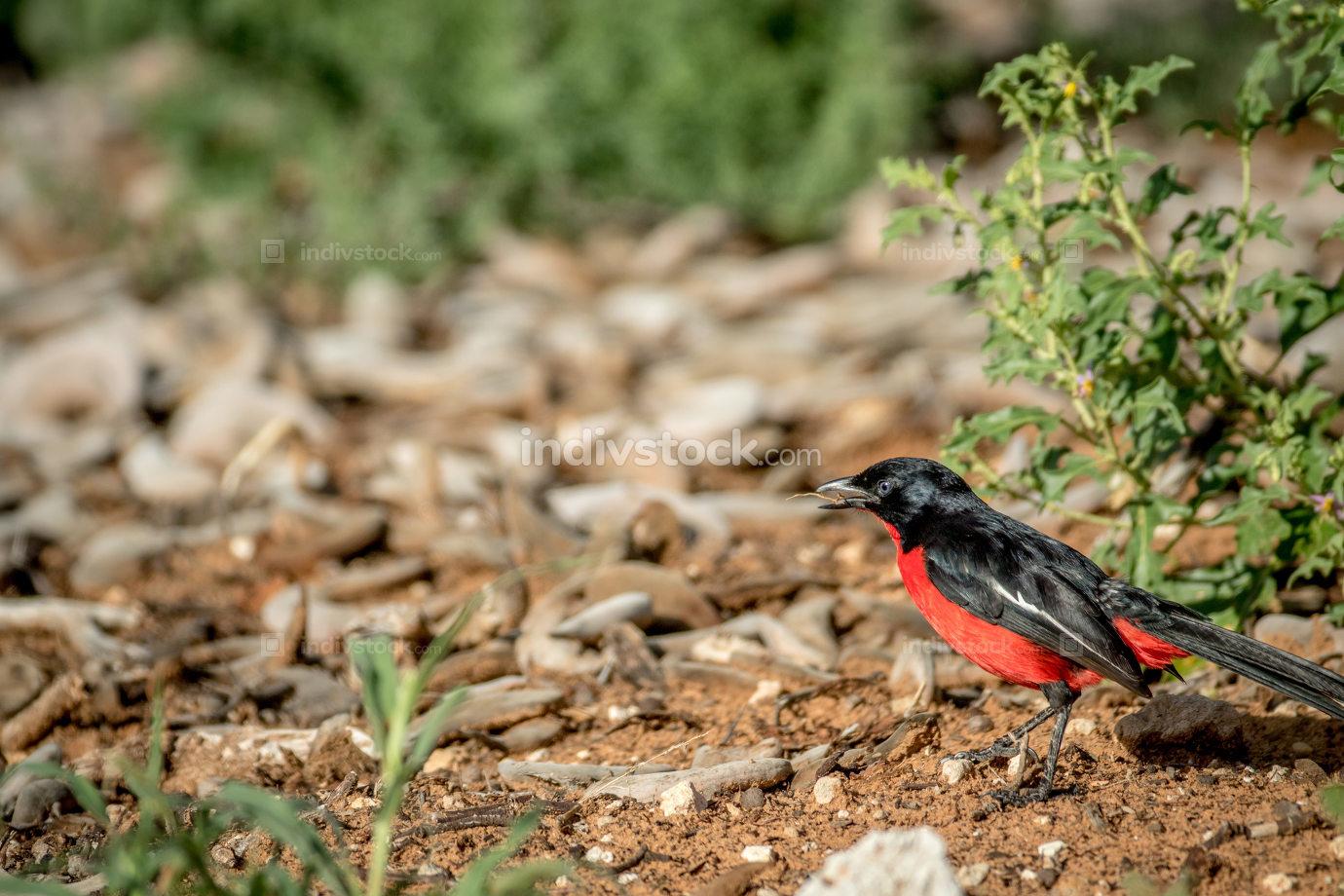 Crimson-breasted shrike on the ground.