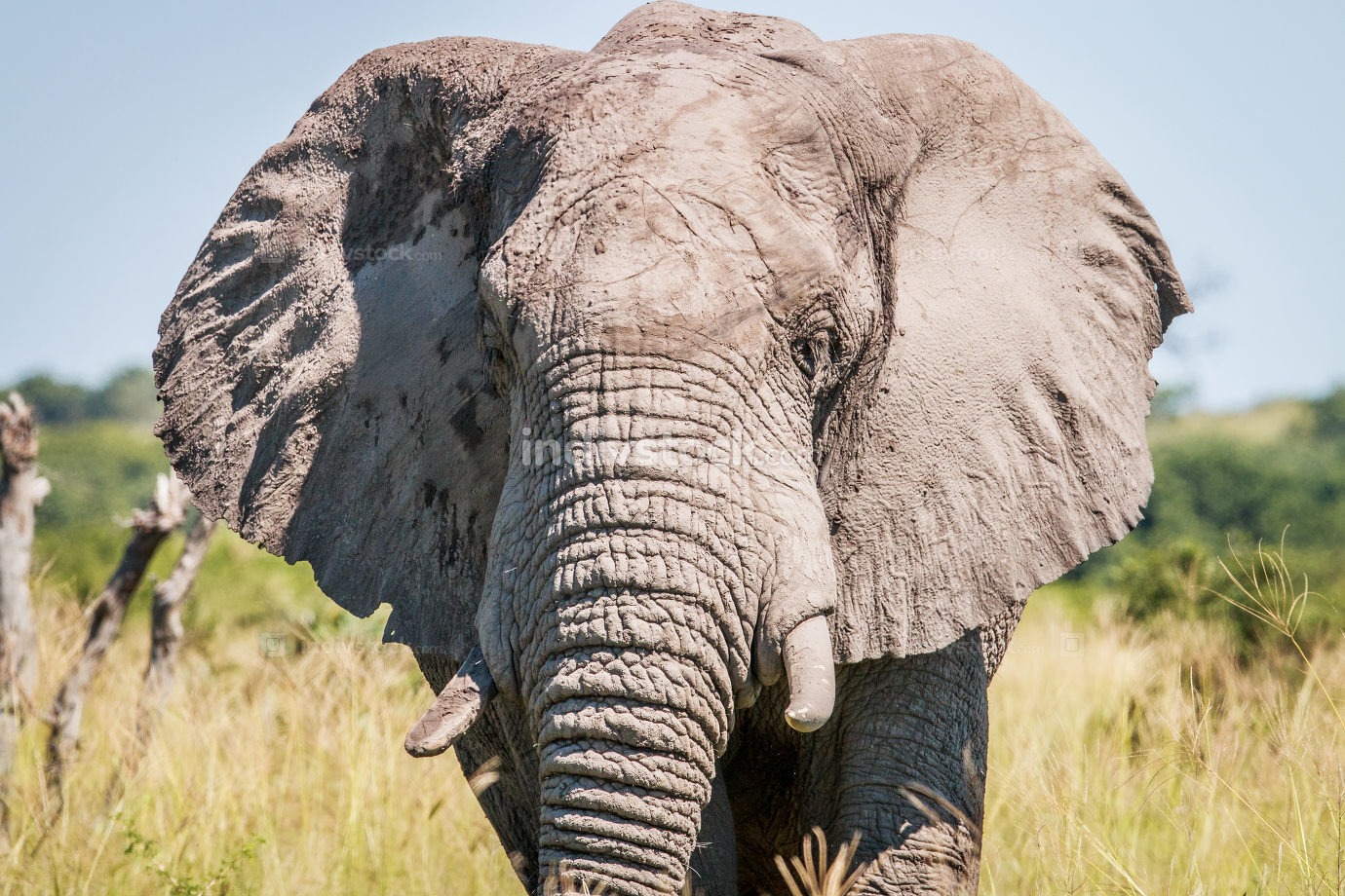 Elephant starring at the camera.