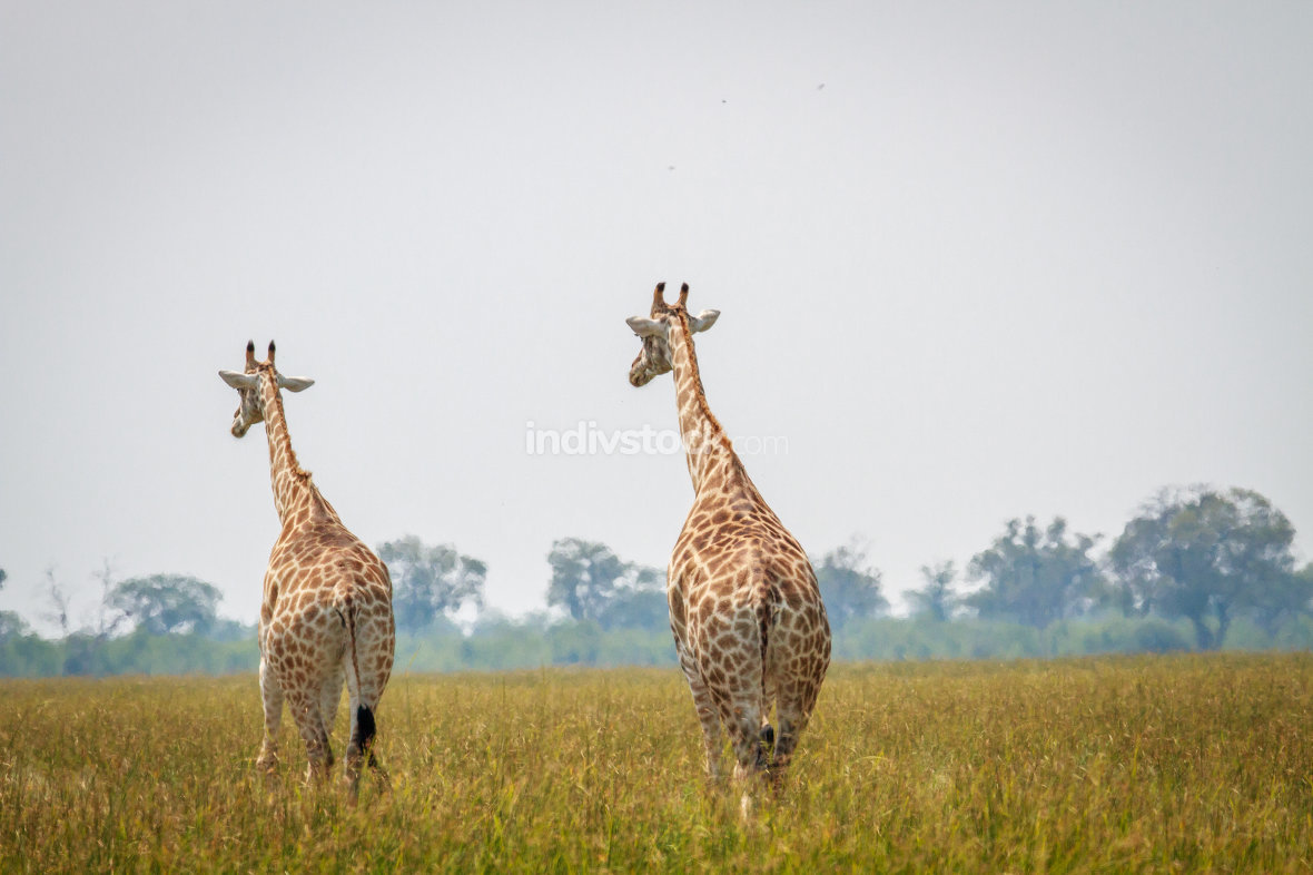 Group of Giraffes walking away from the camera.
